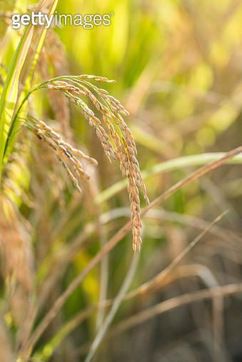 Ripe wheat in autumn - gettyimageskorea