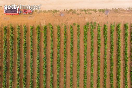 Aerial view of grape harvest in Salento / Apulia Italy - gettyimageskorea