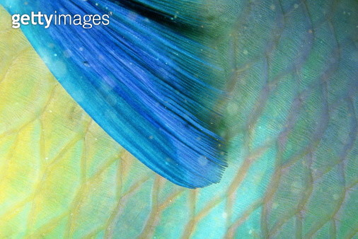 FIN DETAIL OF PARROTFISH, RED SEA - gettyimageskorea