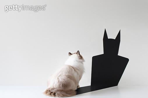 Conceptual ragdoll cat looking at bat shadow - gettyimageskorea