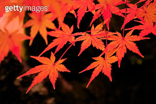 Autumn Colors in Kyoto - gettyimageskorea