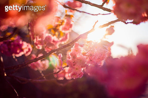 Close-up of cherry tree in full blossom , Germany - gettyimageskorea