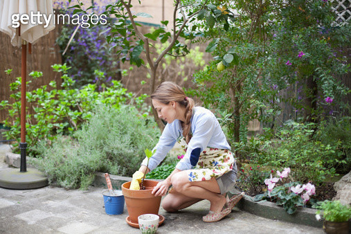 woman potting small fig tree - gettyimageskorea