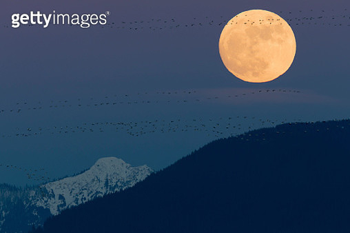 Full moon rising with silhouettes of (Anser caerulescens) flying, Skagit Valley, Washington State, USA - gettyimageskorea