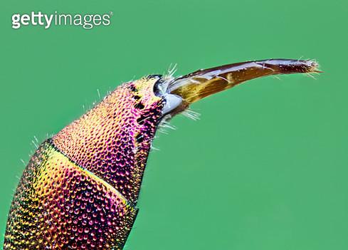 Chrysis (wasp) - cuckoo wasp - gettyimageskorea