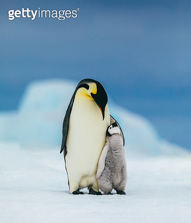 An Emperor penguin chick cuddles up to its parent looking for its next meal. - gettyimageskorea