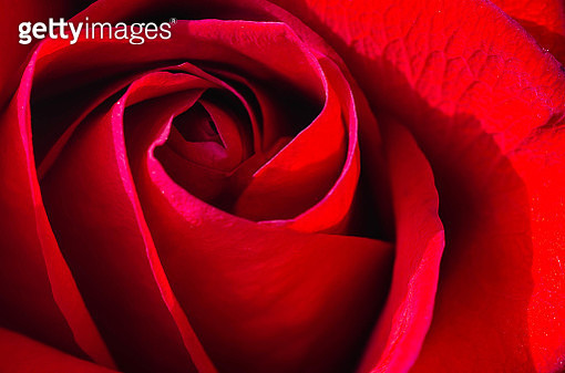 A Red Rose - gettyimageskorea