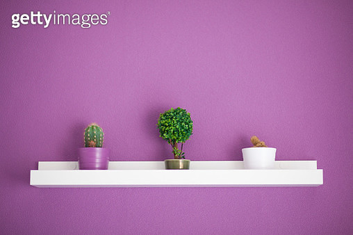 Cactus and bonsai plants on a shelf with purple wall - gettyimageskorea