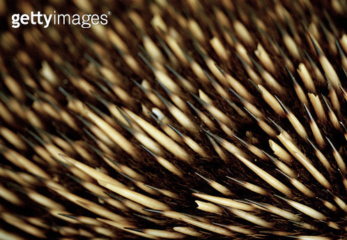 Close up of an echidna's bristles - gettyimageskorea
