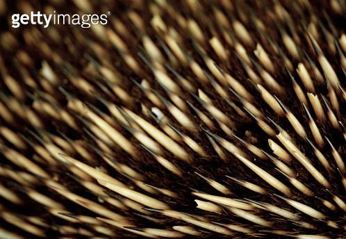 Close up of an echidna's bristles - gettyimageskorea