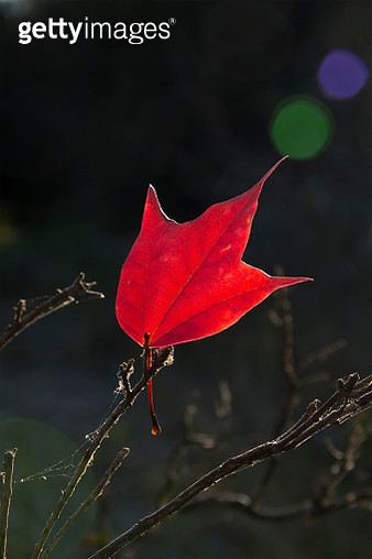 Close-Up Of Red Maple Leaf On Twig - gettyimageskorea