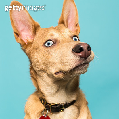Portrait of a Native American Indian Dog. - gettyimageskorea