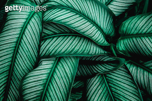 Closeup Nature View Of Tropical Leaf Background, Dark Green Wallpaper Concept. - gettyimageskorea