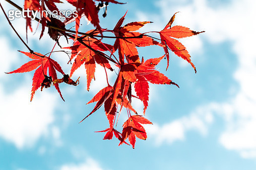 Close-Up Of Red Maple Leaves Against Sky - gettyimageskorea