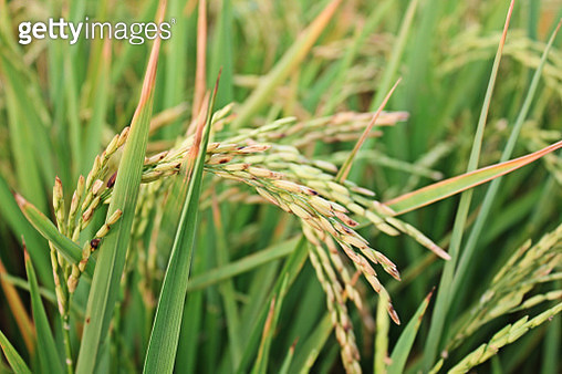 Close-Up Of Wheat Growing On Field - gettyimageskorea
