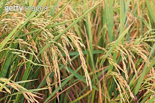 Full Frame Shot Of Corn Field - gettyimageskorea