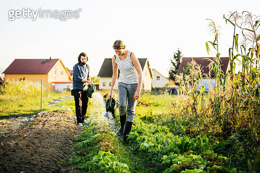Urban Farmers Watering Small Plot Of Vegetables By Hand - gettyimageskorea