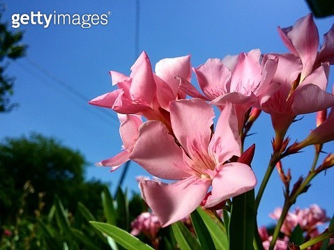 Low Angle View Of Pink Flowering Plant Against Sky - gettyimageskorea