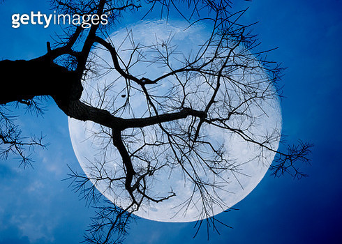 Full moon between branches with blue sky in background - gettyimageskorea