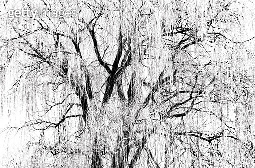 Iced Willow - gettyimageskorea