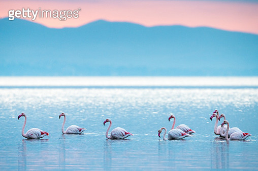 Greater flamingos in Thermaic Gulf at sunrise - gettyimageskorea