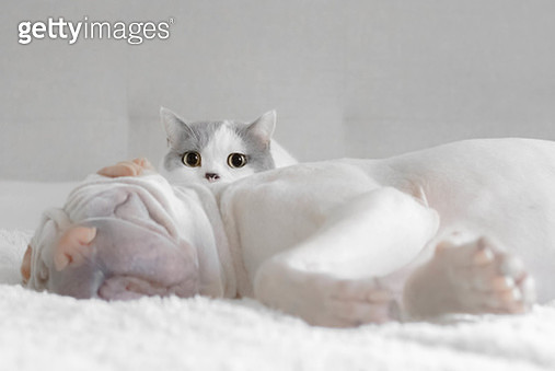 British shorthair cat sitting by a sleeping shar pei dog - gettyimageskorea