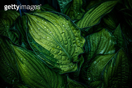 Green leaf with water drops - gettyimageskorea