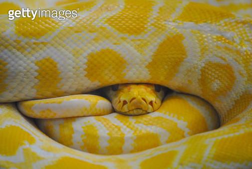Yellow python - gettyimageskorea