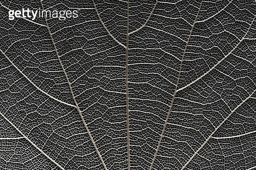 Leaf Vein Macrophotography Against Black Background. - gettyimageskorea