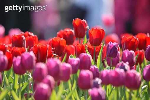 Tulips Garden - gettyimageskorea