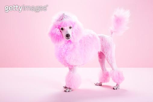 Miniature Pink poodle, pink poodle,studio - gettyimageskorea