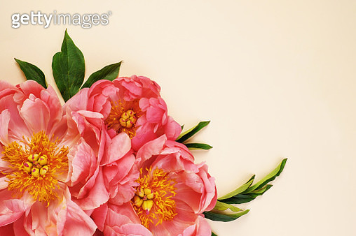 Overhead still life arrangement of large pink peony flowers on a cream background. - gettyimageskorea