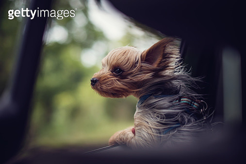 Windswept Yorkie puppy dog looking out of a car window - gettyimageskorea