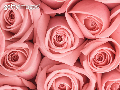 Roses Close Up - gettyimageskorea