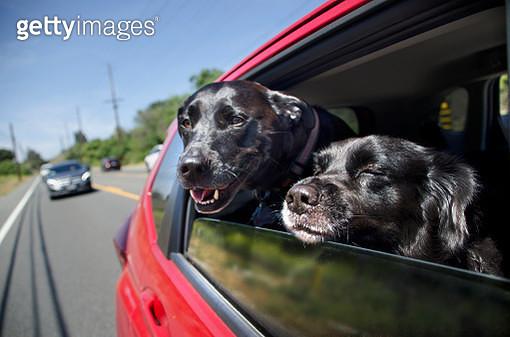 Dogs in Moving Car Window - gettyimageskorea
