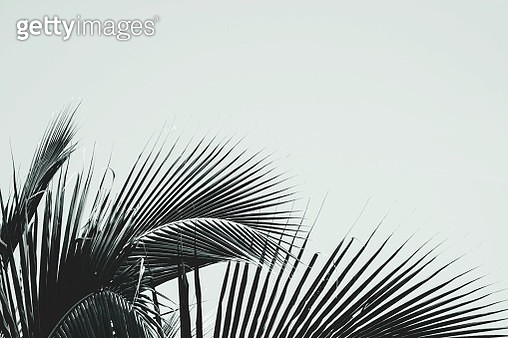 Close-Up Of Palm Tree Against Clear Sky - gettyimageskorea