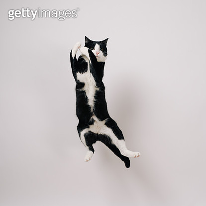Jumping cat - gettyimageskorea