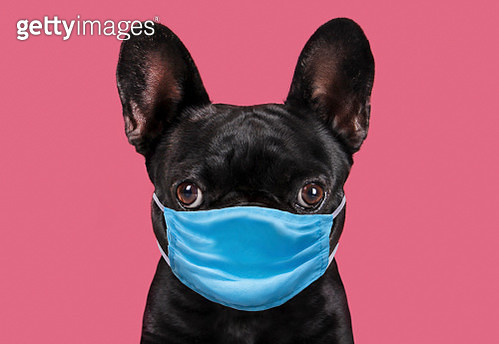 Dog wearing protective face mask. - gettyimageskorea