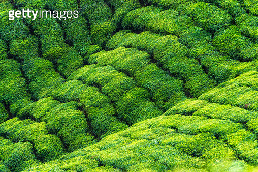 tea plantation valley - gettyimageskorea