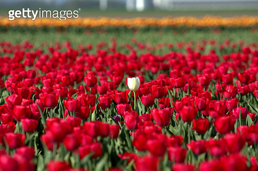 A white tulip in a big field of red tulips - gettyimageskorea