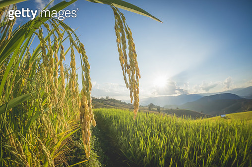 Scenic View Of Wheat Field Against Sky - gettyimageskorea