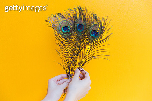 Close-Up Of Hand Holding Peacock Feathers - gettyimageskorea