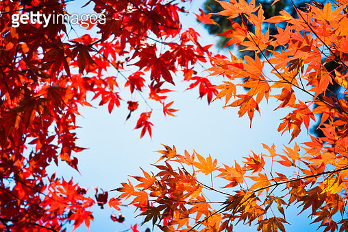 Autumn season colorful of tree and leaves - gettyimageskorea