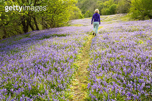 A woman walking through Bluebells growing on a limestone hill in the Yorkshire Dales National Park, UK. - gettyimageskorea