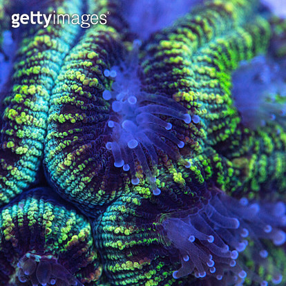 Closeup of a green Favia coral with extended polyps. - gettyimageskorea