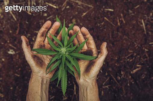Woman holding a small cannabis plant in her garden - gettyimageskorea