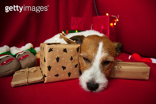 Jack Russell sleeping. Christmas time - gettyimageskorea