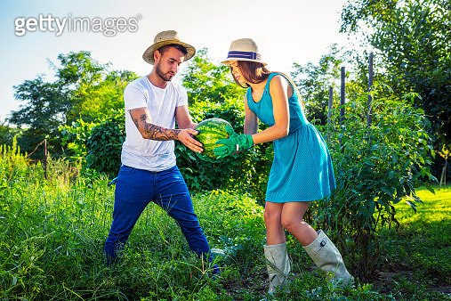 Young couple harvesting watermelons in vegetable garden - gettyimageskorea