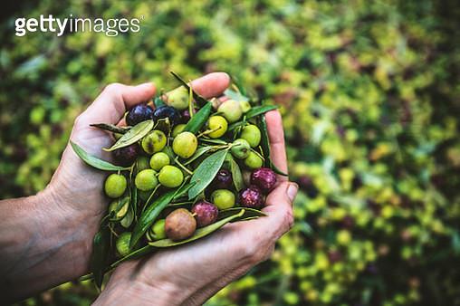 A Handful of Arbequina Olives, freshly harvested - gettyimageskorea