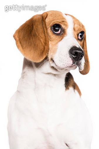 Cute beagle close up - gettyimageskorea